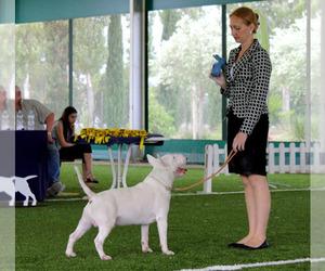 Bull Terrier Dog Breeder near BROOKLYN, NY, USA