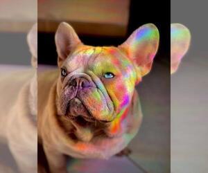French Bulldog Dog Breeder in MIAMI,  USA