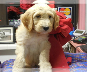 Main photo of Goldendoodle Dog Breeder near BROOKSVILLE, FL, USA