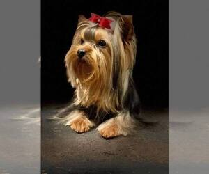 Main photo of Yorkshire Terrier Dog Breeder near RUSHVILLE, OH, USA