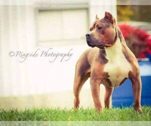 Main photo of American Pit Bull Terrier Dog Breeder near ZEBULON, GA, USA