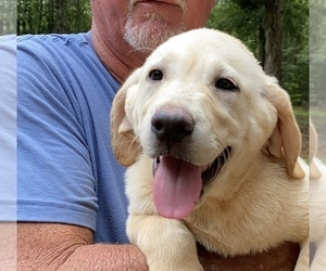 Main photo of Labrador Retriever Dog Breeder near BARNESVILLE, GA, USA