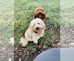 Goldendoodle-Poodle (Miniature) Mix Dog Breeder in CHARLOTTE,  USA