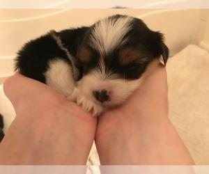 Biewer Terrier-Poo-Shi Mix Dog Breeder in SENECA,  USA