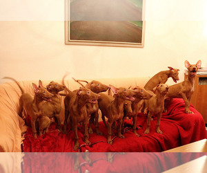 Pharaoh Hound Dog Breeder near Plovdiv, Plovdiv, Bulgaria