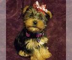 Yorkshire Terrier Breeder in BELLEVILLE, IL, USA