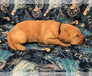Main photo of Labrador Retriever Dog Breeder near RED BUD, IL, USA
