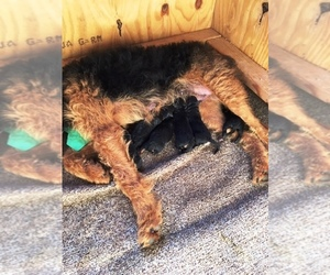 Airedale Terrier Breeder in BOWRING, OK, USA