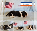 Basset Hound Breeder in BRYAN, TX, USA