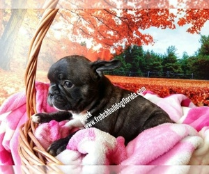 French Bulldog Dog Breeder in FORT LAUDERDALE,  USA