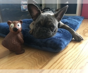 French Bulldog Dog Breeder near TAMPA, FL, USA