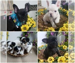 Main photo of French Bulldog Dog Breeder near FARMINGTON, MO, USA