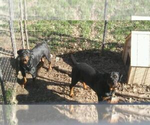 Main photo of Rottweiler Dog Breeder near KANSAS CITY, MO, USA