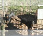 Rottweiler Breeder in KANSAS CITY, MO, USA