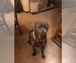 Cane Corso Breeder in CLEVELAND, OH, USA