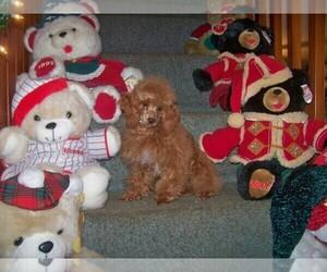 Poodle (Toy) Dog Breeder in WINSTON SALEM,  USA