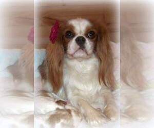 Main photo of Cavalier King Charles Spaniel Dog Breeder near SEYMOUR, MO, USA