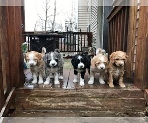 Aussiedoodle-Poodle (Standard) Mix Dog Breeder in COMMERCE,  USA