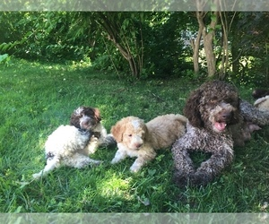 Main photo of Lagotto Romagnolo Dog Breeder near EDGEMONT, NY, USA