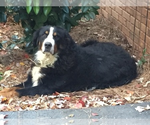 Main photo of Bernese Mountain Dog Dog Breeder near ABBEVILLE, SC, USA