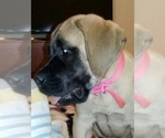 Mastiff Breeder in OREGON HOUSE, CA