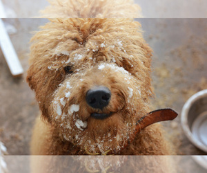 Goldendoodle Dog Breeder in ANDERSON DAM,  USA