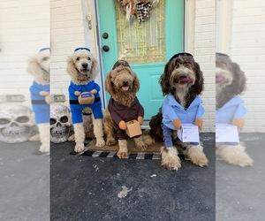 Main photo of Goldendoodle Dog Breeder near KNOXVILLE, TN, USA
