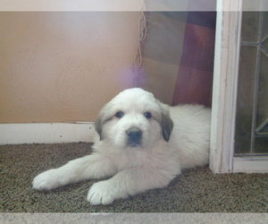 Great Pyrenees Breeder in HUNTSVILLE, IL