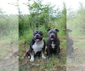 Main photo of American Bully Dog Breeder near CENTRALIA, WA, USA