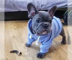 Main photo of French Bulldog Dog Breeder near ROCKVILLE, MD, USA