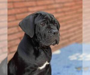 Main photo of Cane Corso Dog Breeder near PHOENIX, AZ, USA