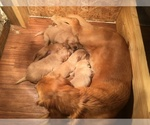 Golden Retriever Breeder in LEESVILLE, SC, USA