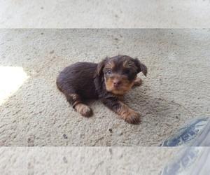 Main photo of Yorkshire Terrier Dog Breeder near HARRIMAN, TN, USA