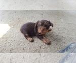 Yorkshire Terrier Breeder in HARRIMAN, TN, USA