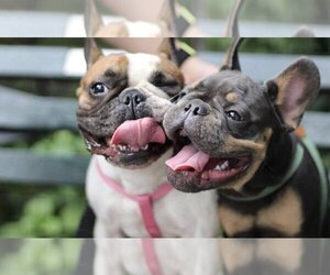 Main photo of French Bulldog Dog Breeder near BOWLING GREEN, NY, USA