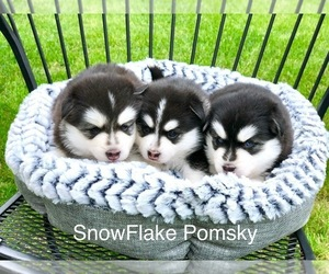 Pomsky Dog Breeder in KEIZER,  USA