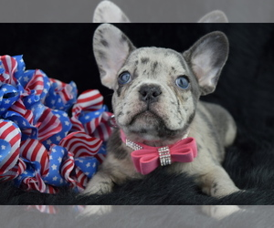 French Bulldog Dog Breeder in IVA,  USA