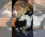 Beagle Breeder in UNION GROVE, AL, USA