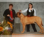 Bullmastiff Breeder in PECULIAR, MO, USA