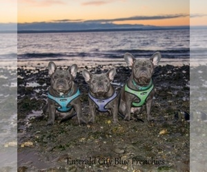Main photo of French Bulldog Dog Breeder near EVERETT, WA, USA