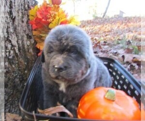 Newfoundland Dog Breeder near CLINTON, AR, USA
