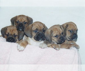 Main photo of Puggle Dog Breeder near WARSAW, NY, USA
