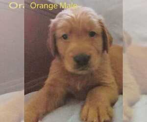 Main photo of Golden Retriever Dog Breeder near DAVENPORT, FL, USA