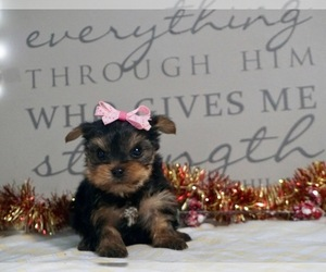 Yorkshire Terrier Dog Breeder in NAPPANEE,  USA