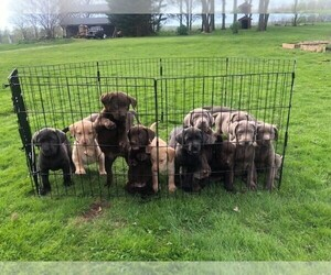 Main photo of Labrador Retriever Dog Breeder near BEARTOWN, PA, USA