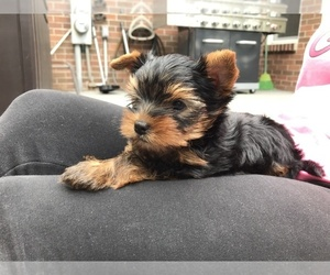 Main photo of Yorkshire Terrier Dog Breeder near CANTON, MI, USA