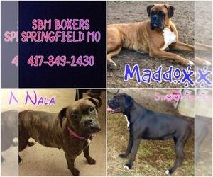 Boxer Breeder in SPRINGFIELD, MO