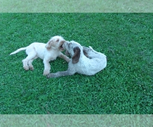 Spinone Italiano Dog Breeder near Lincoln, CA, USA