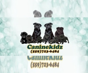 Pug Dog Breeder near TULARE, CA, USA
