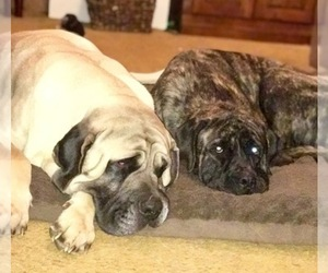Mastiff Dog Breeder in MUNFORD,  USA